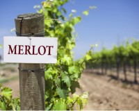 Merlot: The underappreciated wine