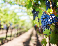 Gov. Brown declares September 'California Wine Month'
