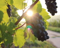 Join Mt. Vernon for the Grape Days of Summer!